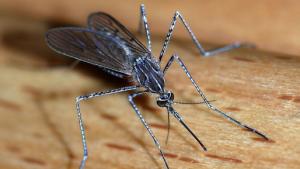 פעם נוספת העונה: התגלו יתושים נגועים בקדחת בצפון הארץ ובדרומה