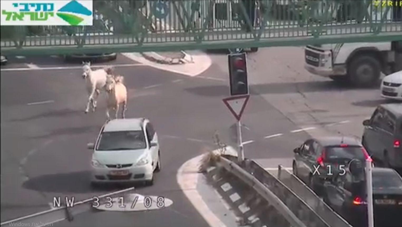 תיעוד נדיר ומסוכן: סוסים דוהרים על כביש ראשי סמוך לצריפין