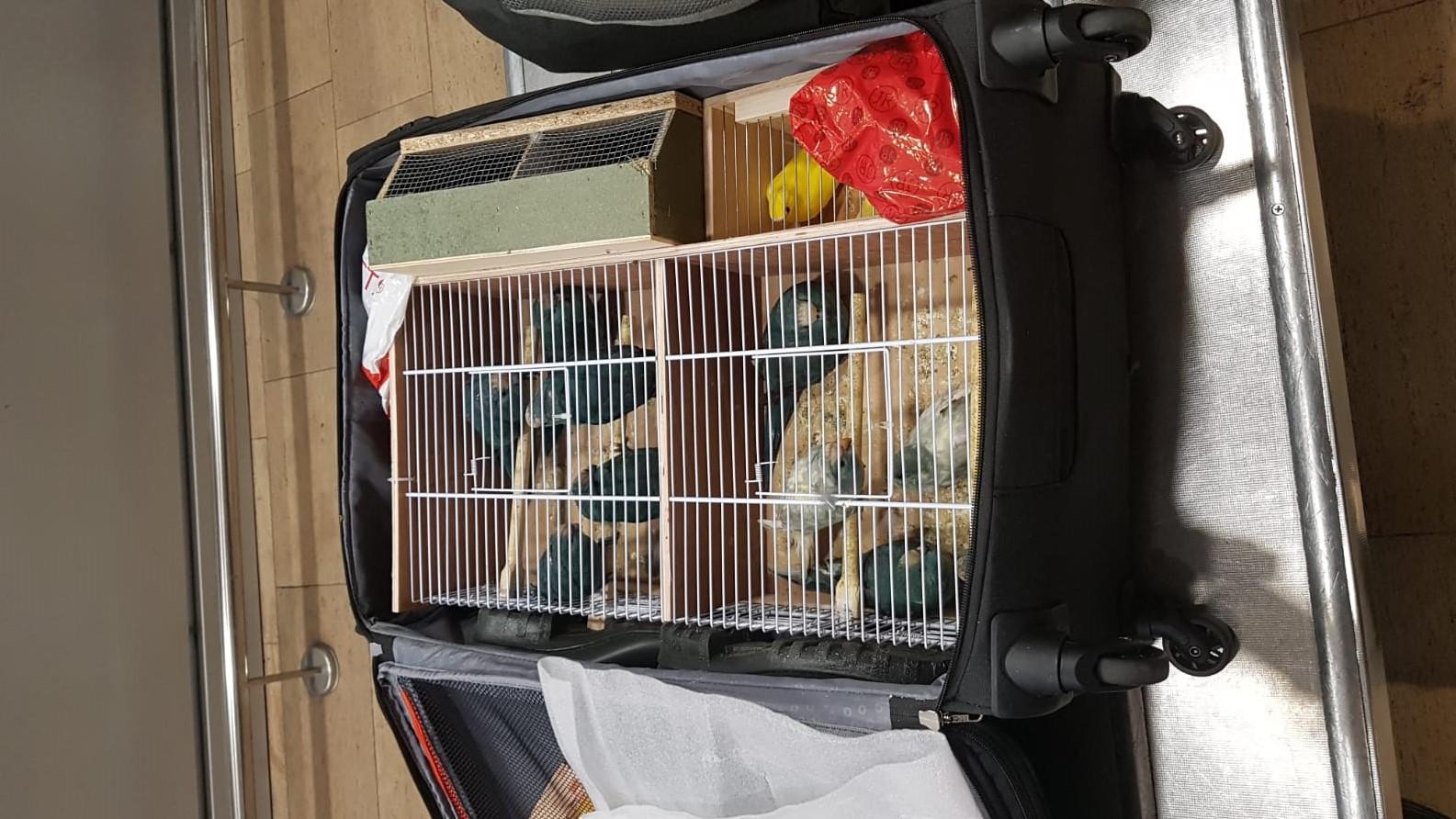 """14 ציפורים הוסתרו בתוך מזוודה בנתב""""ג – חשוד נעצר לחקירה"""