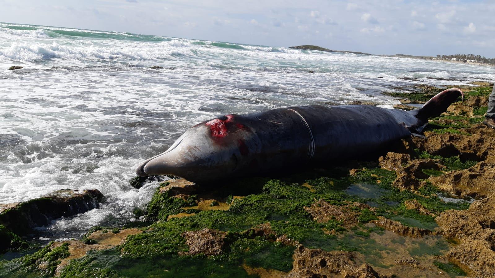 ליוויתן מת באורך 4.6 מטרים נפלט לחוף דור בחיפה | תיעוד