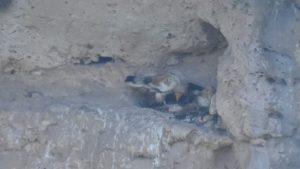 לראשונה מזה 50 שנה: קינון של עופות דורסים מסוג רחמים זוהה בכרמל