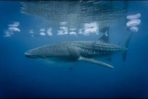 ארצנו היפה: כריש לוויתן תועד בשמורת אלמוגים באילת