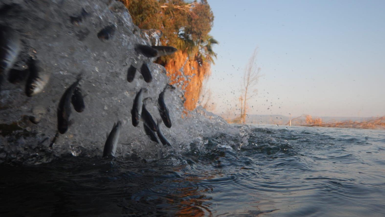 לשיפור איכות המים: משרד החקלאות אכלס כ-50,000 דגיגי בורי בכנרת